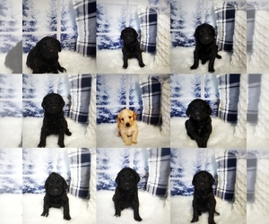 Labradoodle Litter for sale in WEST PLAINS, MO, USA