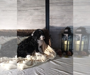 Bernedoodle-Poodle (Standard) Mix Litter for sale in SHIPSHEWANA, IN, USA