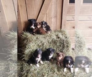 Australian Shepherd Litter for sale in UNION CITY, IN, USA