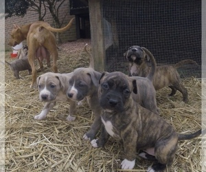 American Pit Bull Terrier-American Staffordshire Terrier Mix Litter for sale in KARNS, TN, USA
