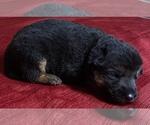 Small Photo #1 German Shepherd Dog Puppy For Sale in DELAVAN, IL, USA