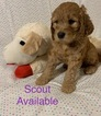 Goldendoodle Puppy For Sale in GRANT CITY, MO, USA