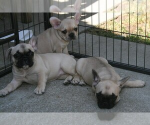 French Bulldog Litter for sale in LINCOLN, CA, USA