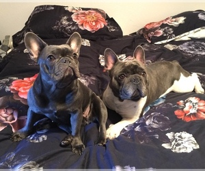 French Bulldog Litter for sale in CEDAR HILL, TX, USA