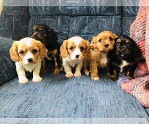 Cavalier King Charles Spaniel Litter for sale in KALONA, IA, USA