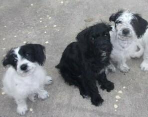Medium Jack Russell Terrier-Poodle (Standard) Mix
