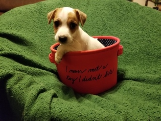 Jack Russell Terrier Litter for sale in MANSFIELD, TX, USA