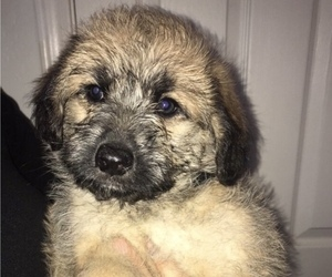 Shepadoodle Litter for sale in LODI, CA, USA