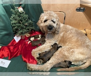 Saint Berdoodle Litter for sale in WASHINGTON, IA, USA