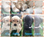 Golden Labrador Puppy For Sale in ESTERO, FL, USA
