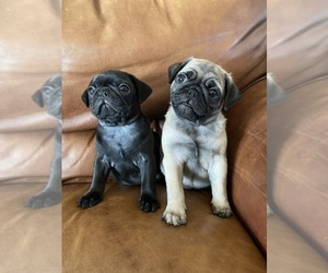 Pug Litter for sale in WARRENTON, MO, USA