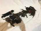 Doberman Pinscher Puppy For Sale in CITY VIEW HEIGHTS, OH, USA