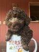 Poodle (Toy) Puppy For Sale in SEWARD, NE, USA