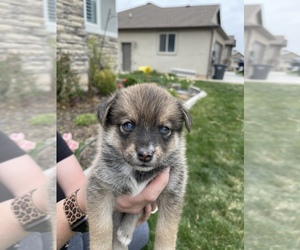 Pomsky Litter for sale in NEPHI, UT, USA