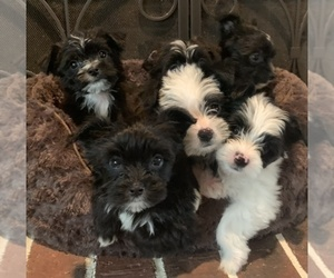 Morkie Litter for sale in ATHENS, TX, USA