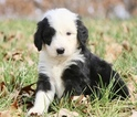 Sheepadoodle Puppy For Sale in AVALON, MO, USA