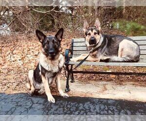 German Shepherd Dog Litter for sale in EDMORE, MI, USA