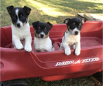 Rat Terrier Puppy For Sale in BOWLING GREEN, KY, USA