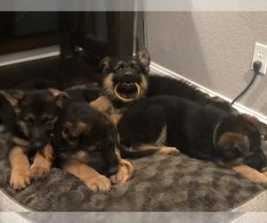 German Shepherd Dog Litter for sale in HASLET, TX, USA