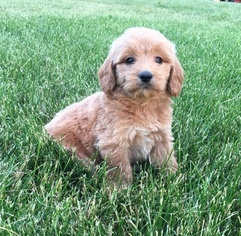 Goldendoodle (Miniature) Litter for sale in WEST POINT, IA, USA
