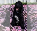Poodle (Standard) Puppy For Sale in ALBANY, GA, USA
