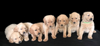 Goldendoodle Puppy For Sale in BRISTOL, IN, USA
