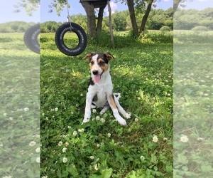 Australian Cattle Dog-Jack Russell Terrier Mix Litter for sale in HILLSBORO, WI, USA