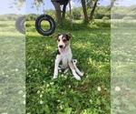 Small Australian Cattle Dog-Jack Russell Terrier Mix
