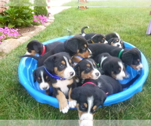 Greater Swiss Mountain Dog Litter for sale in MILLERSTOWN, PA, USA