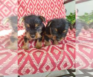 Silky Terrier Litter for sale in WASHBURN, MO, USA