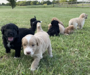 Aussiedoodle Litter for sale in ARDMORE, OK, USA