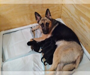 German Shepherd Dog Litter for sale in MCDONOUGH, GA, USA