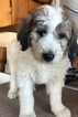 Pyredoodle Puppy For Sale in ARRIOLA, CO, USA