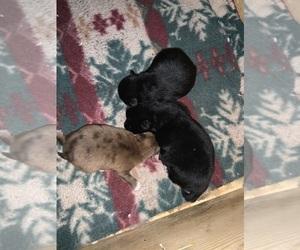 Pomeranian Litter for sale in OMAHA, NE, USA