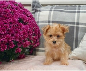 Maltese-Morkie Mix Litter for sale in WARSAW, IN, USA