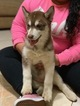 Siberian Husky Puppy For Sale in IRVING, TX, USA