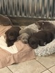 Labrador Retriever Puppy For Sale in MANTUA, OH, USA
