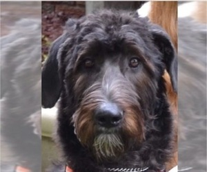 Irish Wolfhound-Poodle (Standard) Mix Litter for sale in BENTON HARBOR, MI, USA
