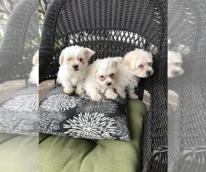 Maltipoo Litter for sale in BOWLING GREEN, KY, USA