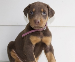 Doberman Pinscher Litter for sale in STAR CITY, AR, USA