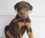 Doberman Pinscher Puppy For Sale in STAR CITY, AR, USA