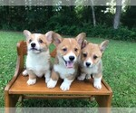 Pembroke Welsh Corgi Puppy For Sale in NIANGUA, MO, USA