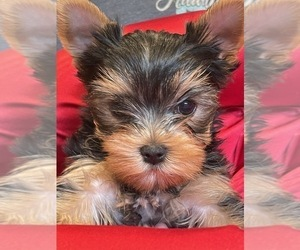 Yorkshire Terrier Litter for sale in BALLICO, CA, USA