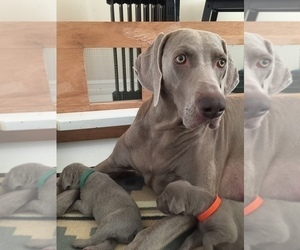 Weimaraner Litter for sale in POINT ROBERTS, WA, USA