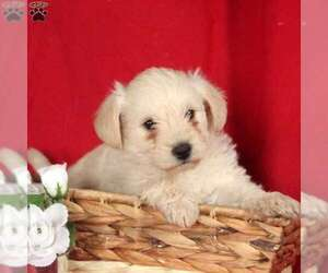 Medium West Highland White Terrier