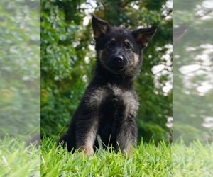 German Shepherd Dog Litter for sale in WARSAW, IN, USA