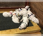 Dalmatian Puppy For Sale in THOMPSONS STATION, TN, USA