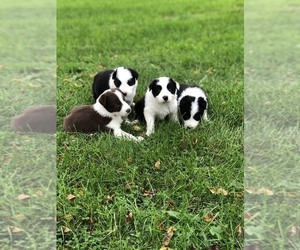 Border Collie Litter for sale in DARLINGTON, WI, USA