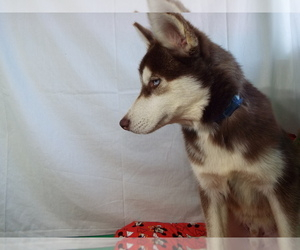 Siberian Husky Litter for sale in PATERSON, NJ, USA
