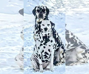 Dalmatian Litter for sale in SPOKANE, WA, USA